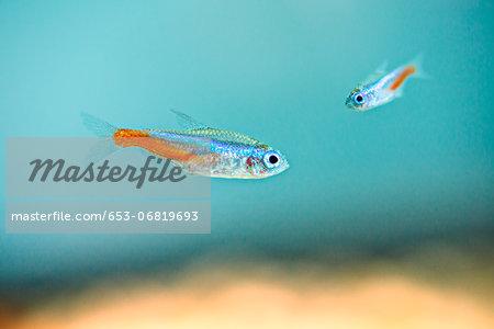 Two neon tetras (Paracheirodon innesi) underwater