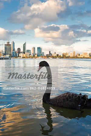 Australia, Western Australia, Perth.  Black swan (Cygnus atratus) on Swan River with city skyline in background.
