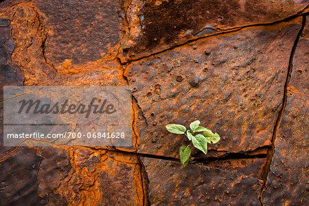 Close-Up of Plant Growing Between Cracks in Banded Iron Formation Rock, Dales Gorge, Karijini National Park, The Pilbara, Western Australia, Australia