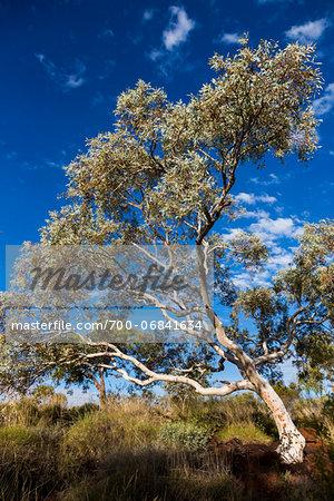 Close-Up of Gum Tree Against Blue Sky, Karijini National Park, The Pilbara, Western Australia, Australia