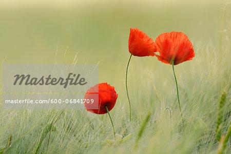 Red Poppies (Papaver rhoeas) in Barley Field, Hesse, Germany, Europe