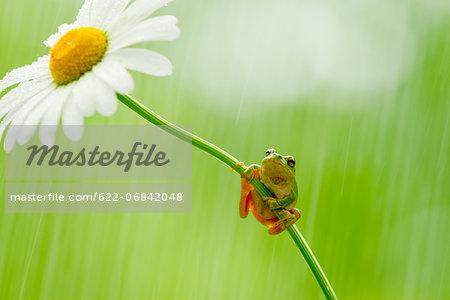 Frog on a Margaret