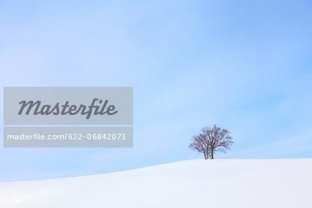 Beech tree standing in a snowy field