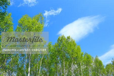 Birch trees, Hokkaido