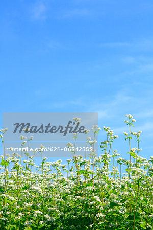 Buckwheat flowers and sky