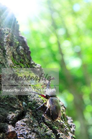 Beetle on oak tree