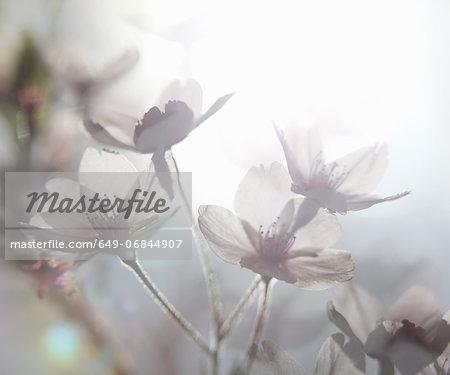 Ethereal shot of white cherry blossom, prunus serrulata
