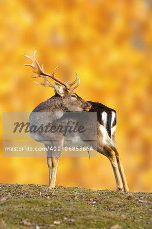 big fallow deer buck ( dama dama ) in beautiful autumn setting