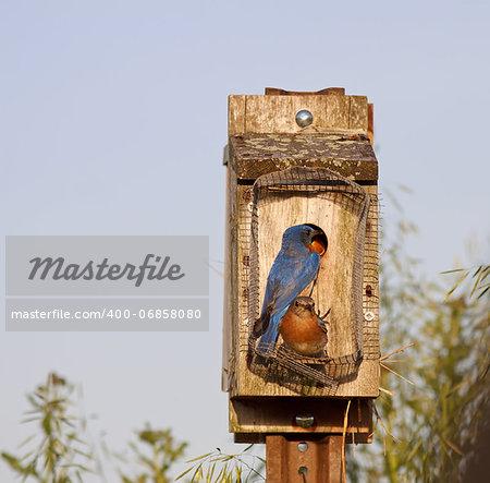 Eastern Bluebirds feeding their babies on a bright spring day.