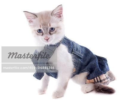dressed birman kitten in front of white background
