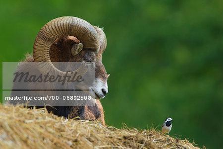 Mouflon (Ovis musimon), ram looking at Pied wagtail (Motacilla alba), Hesse, Germany