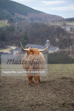 Highland cattle in field, hills and village in distance, Scotland