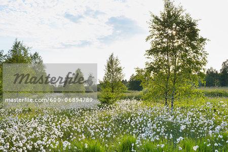 Cotton Grass on Black Moor, UNESCO Biosphere Reserve, Rhon Mountains, Bavaria, Germany
