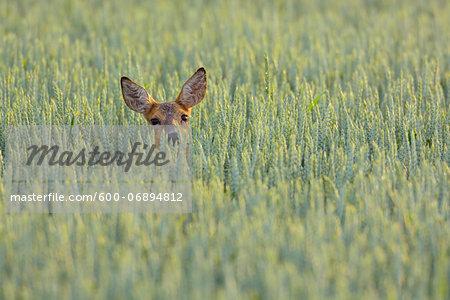Roe Deer (Capreolus capreolus) Doe in Grain Field, Hesse, Germany