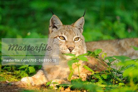 Portrait of a Eurasian lynx (lynx lynx) in a forest in spring, Bavaria, Germany