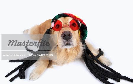 Studio portrait of golden retriever wearing dreadlocks and sunglasses