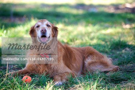 Portrait of golden retriever lying on grass