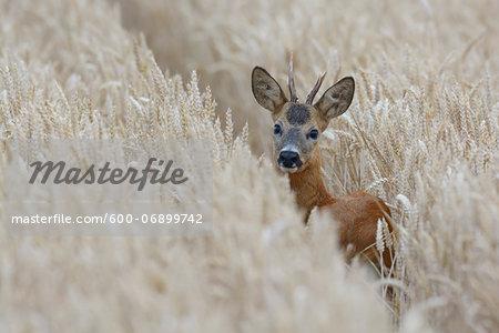 European Roebuck (Capreolus capreolus) in Wheat Field in Summer, Hesse, Germany