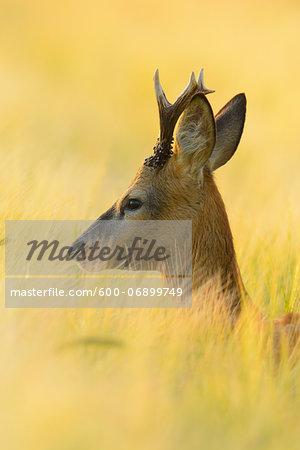 European Roebuck (Capreolus capreolus) in Barley Field in Morning in Summer, Hesse, Germany