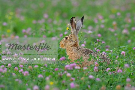 European Brown Hare (Lepus europaeus) in Field in Summer, Hesse, Germany