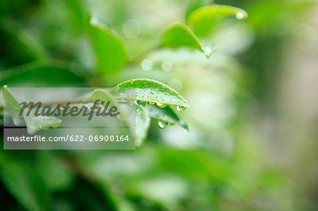 Green leaves and rain