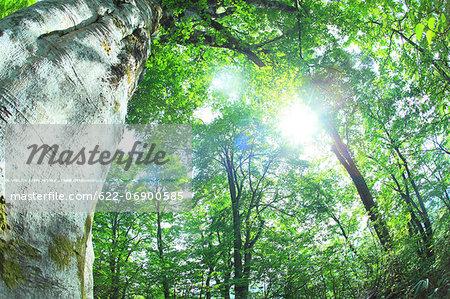 Beech forest, Aomori Prefecture