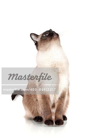 Siamese cat with blue eyes looks upwards isolated on white background