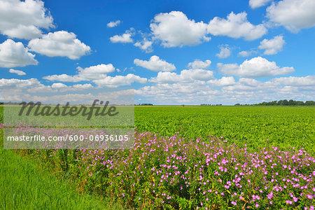 Beet Field with Rosebay Willow-herb (Epilobium angustifolium) in Summer, Toenning, Eiderstedt Peninsula, Schleswig-Holstein, Germany