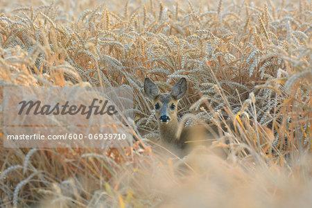 Roe Deer (Capreolus capreolus) Fawn in Wheat Field, Hesse, Germany