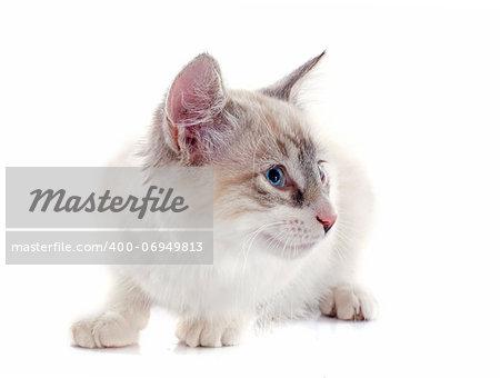 birman kitten in front of white background