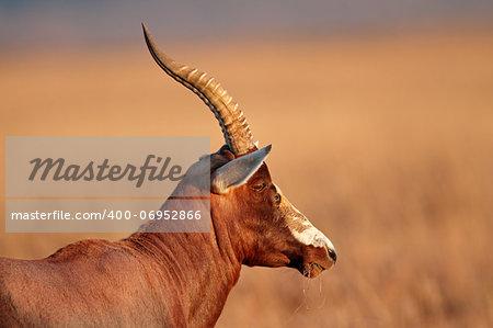 Portrait of a blesbok antelope (Damaliscus pygargus), South Africa