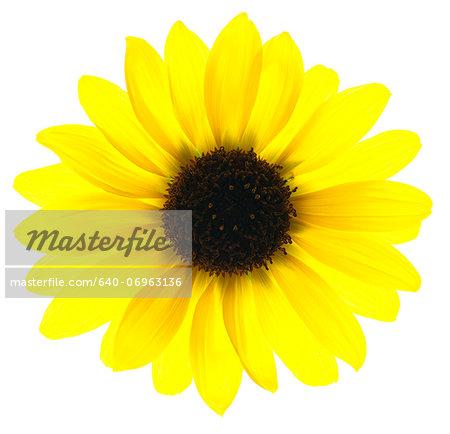 Close up of yellow sunflower on white background, studio shot