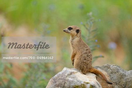 Meerkat (Suricata suricatta) on Rock in Summer, Bavaria, Germany