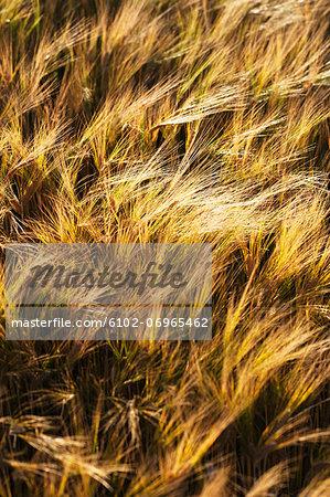 Rye on field, close-up