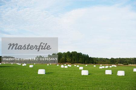 Bales on field