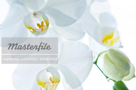Close-up of orchid petals