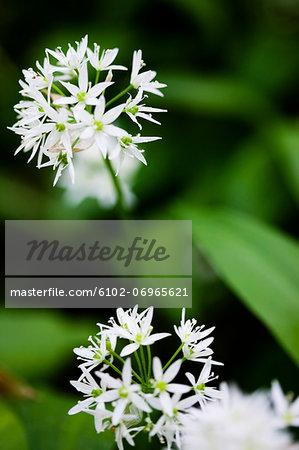 Flowering ramsons