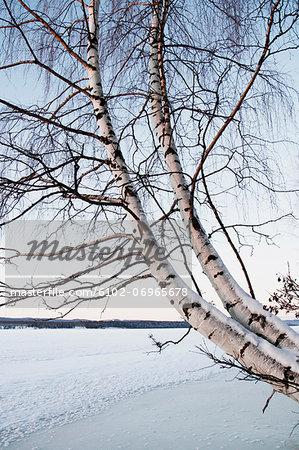 Bare birch tree in winter field