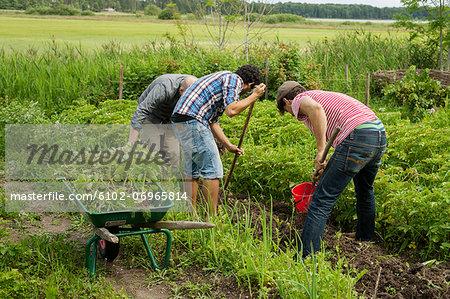 Men harvesting new potatoes