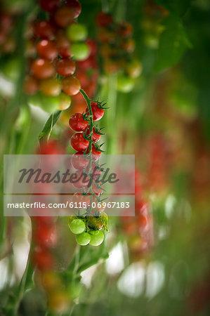 Tomatoes In Greenhouse, Croatia, Slavonia, Europe