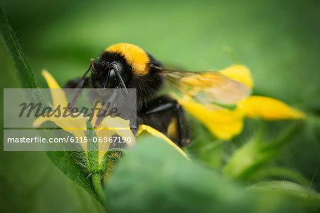 Bumblebee On Zucchini Plant, Croatia, Slavonia, Europe