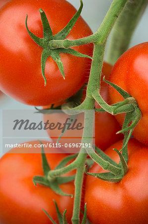 Fresh Tomatoes, Croatia, Slavonia, Europe