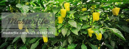 Bell Pepper In Greenhouse, Croatia, Slavonia, Europe