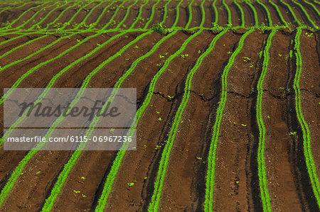 Carrot Field, Croatia, Slavonia, Europe