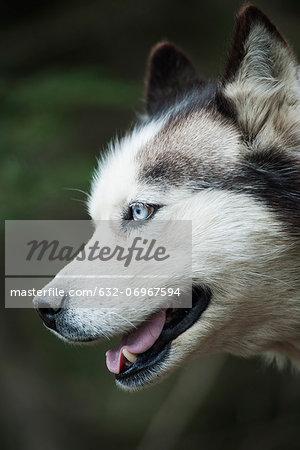 Husky, profile