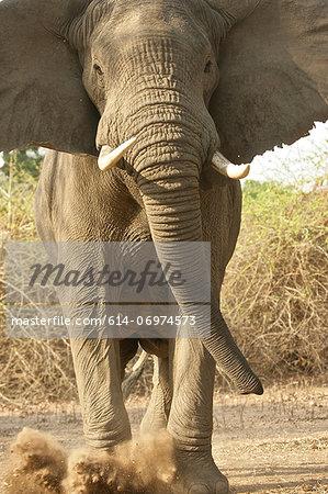 Aggressive African Elephant kicking dust, Mana Pools National Park,  Zimbabwe, Africa