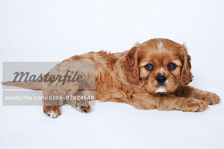 Cavalier King Charles Spaniel puppy, lying down, studio shot