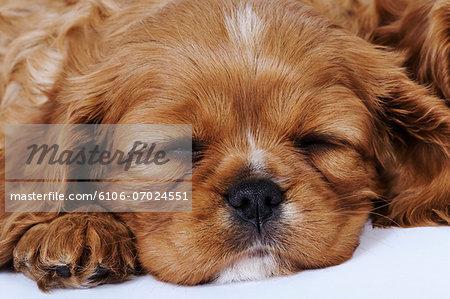 Cavalier King Charles Spaniel puppy sleeping in studio, close-up