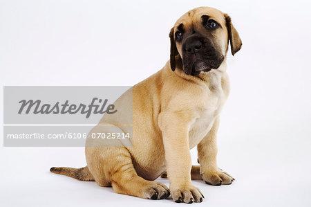 Great Dane puppy sitting in studio