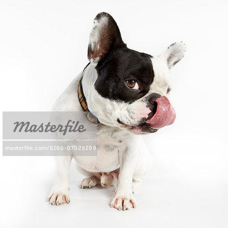 French Bulldog licking his chops